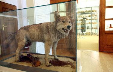 Hoyerswerda  Deutschland  der Tiger von Sabrodt im Museum im Schloss Hoyerswerda