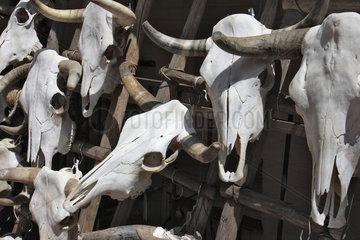 Santa Fe  USA  Schaedel von Rindern in einem Souvenirshop