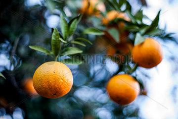 Sevilla  Spanien  Orangen am Baum