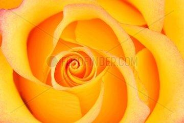 gelb orange Rose Rosa