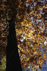Eichenbaum im Herbst