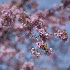 cherry blossom  Tokyo  Japan