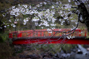 Cherry Blossom  Shuzenji  Japan