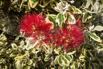 pohutukawa tree red blossom