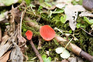 Lautern  Deutschland  Prachtbecherlinge am Waldboden