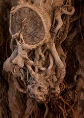 The roots of an old treeSymbolic of age and longevity