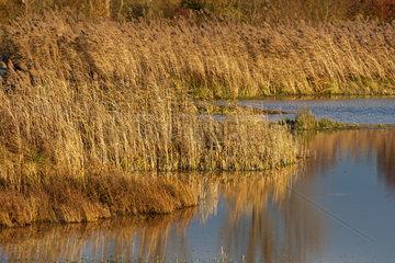 Schilf am Reinheimer Teich