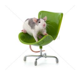Nice little rat sitting on a miniature office chair.