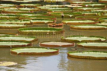 Pamplemousse  Mauritius  Riesenseerosen im SSR Botanical Garden
