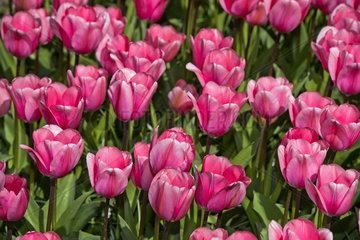 Rosa Darwin-HybrideTulpe Love Me Tender  Blumenschau Keukenhof  Lisse  Niederlande