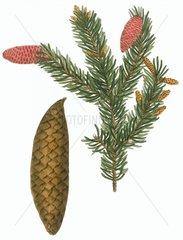 Pinus abies