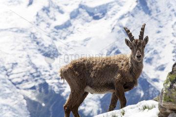 Steinbock in den franzoesischen Alpen