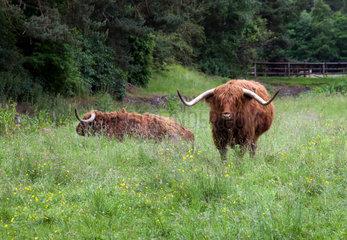 Pitlochry  Grossbritannien  Schottische Hochlandrinder auf einer Weide