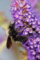 Grosse Holzbiene am Schmetterlingsflieder