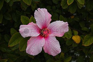 Hibiscus - Lanzarote
