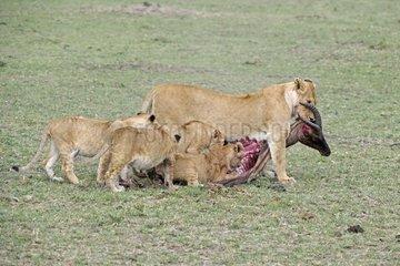 Loewen  Loewe  Loewenfamilie Panthera leo  frisst erbeutetes Topi Damaliscus lunatus  Masai Mara  Kenia  Afrika