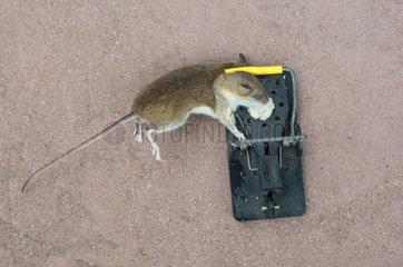 Eine tote Hausmaus in einer Mausefalle