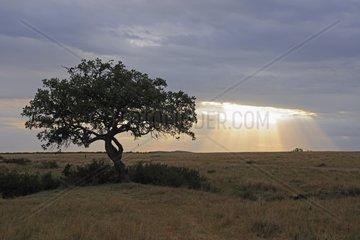 Leberwurstbaum Kigelia africana  Kigelia pinnata vor Gewitterhimmel  Masai Mara  Kenia