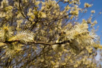 Brandenburg  Deutschland  bluehende Weiden mit Honigbiene