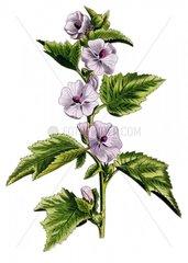Echter Eibisch althaea officinalis 1 Heilkraeuter