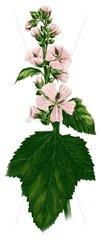 Echter Eibisch althaea officinalis 2 Heilkraeuter