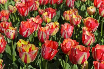 Lachsfarbene hollaendische Tulpen  Lisse  Bollenstreek  Niederlande