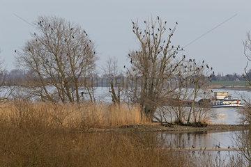 Schlafplatz von Kormoranen (Phalacrocorax carbo) an der Elbe  Hamburg  Deutschland  Europa