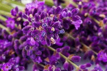 Lavendel Blueten isoliert vor weissem Hintergrund Lila Sommerblumen