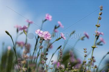 pinkfarbene Federnelken vor blauem Himmel
