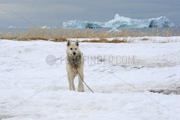 Ilulissat  Daenemark  Husky steht angekettet im Schnee