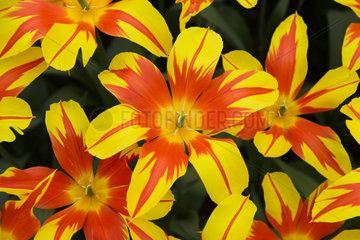 Fire Wings Tulpen  Blumenschau Keukenhof  Lisse  Niederlande