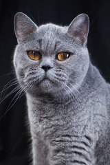 Portrait of a gray British shorthair cat on a black background