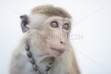 Ceylon-Hutaffe in Sri Lanka mit Halsband