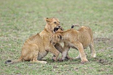 junge Loewen  Panthera leo  spielen zusammen  Masai Mara  Kenia  Afrika