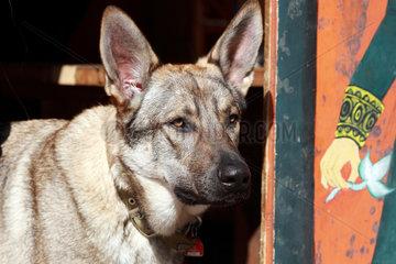 Rabenstein  Deutschland  Deutscher Schaeferhund-Mix im Portrait