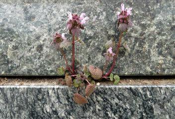 Berlin  Deutschland  lila Pflanze waechst in der Ritze zwischen zwei Marmorplatten