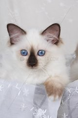 HEILIGE BIRMA KATZE  BIRMAKATZE  SACRED CAT OF BIRMA  BIRMAN CAT  KITTEN  SEALPOINT