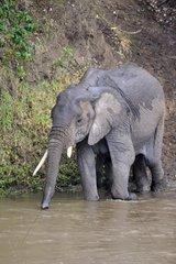 Afrikanische Elefanten Loxodonta africana  Mutter mit Jungtier beim durchqueren des Mara Flusses  Masai Mara  Kenia  Afrika