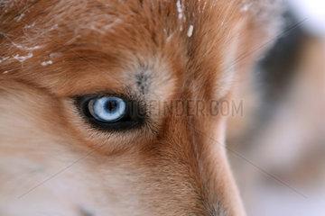 Aekaeskero  Finnland  Detailaufnahme  blaues Auge eines Siberian Husky
