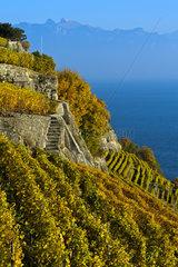 Terrassierte Steillagen im Weinanbaugebiet Lavaux ueber dem Genfersee  Lavaux  Waadt  Schweiz