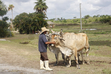 Bauer mit seine Ochse in Kuba