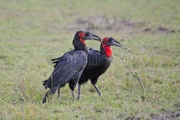 Suedlicher Hornrabe Bucorvus leadbeateri  Paar bei Futteruebergabe  Masai Mara  Kenia  Afrika