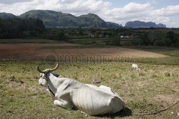 Ochsen in Kuba