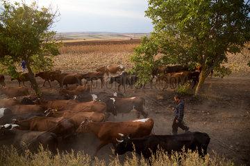 Republik Moldau  Bauern treiben ihr Vieh nach Hause