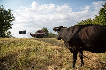 Republik Moldau  Milchkuh am Strassenrand