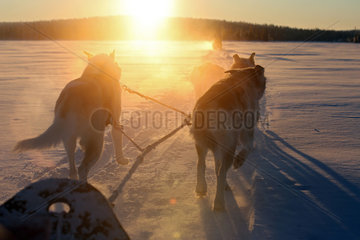 Aekaeskero  Finnland  Siberian Huskies ziehen einen Hundeschlitten