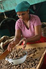 St. Georges  Grenada  Mitarbeiterin in einer Muskatnussfabrik