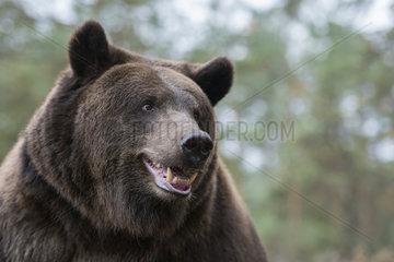 Kopfportrait... Europaeischer Braunbaer *Ursus arctos*  lustiges close-up