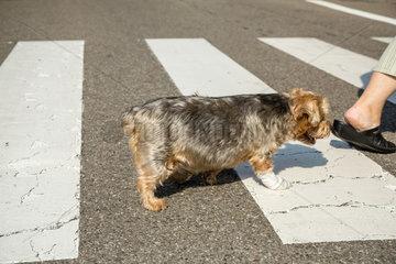 Weissenburg  Frankreich  Hund und Mensch ueberqueren einen Zebrastreifen