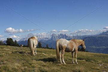 Pferde auf eine Suedtiroler Bergwiese